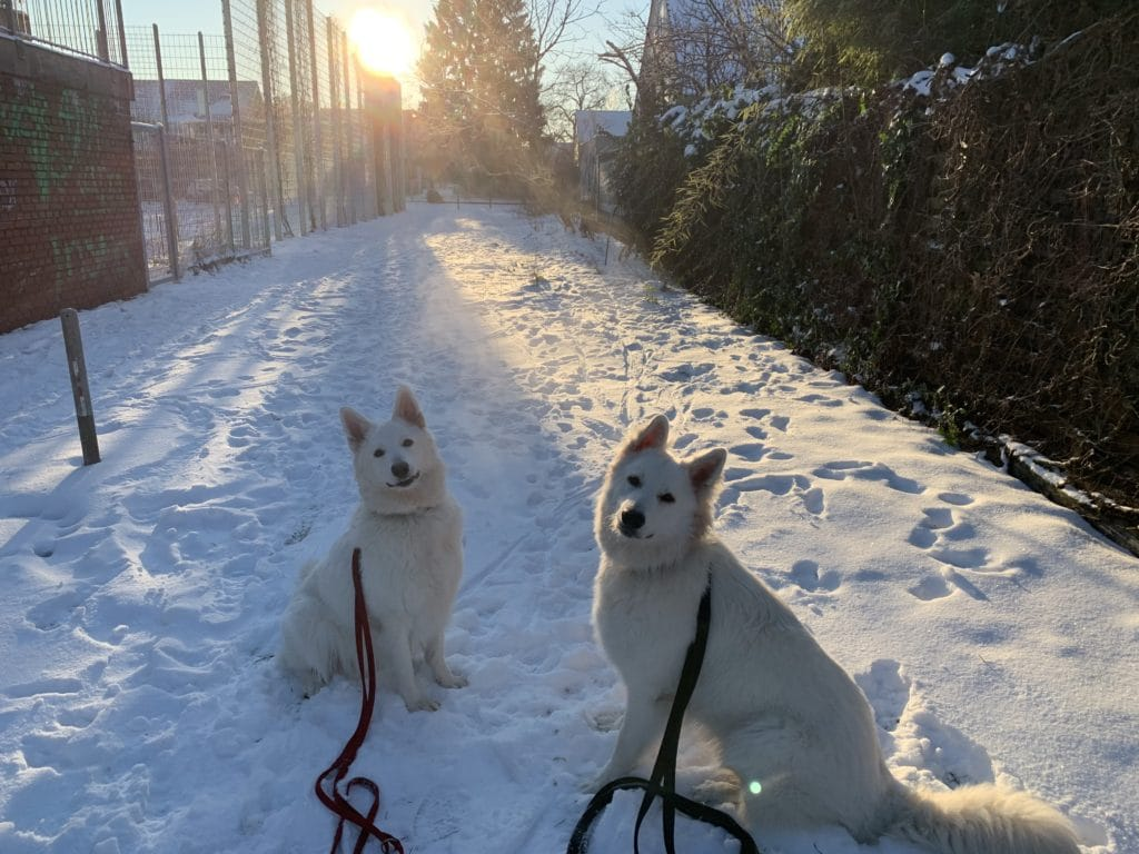 Weiße Schäferhunde im Schnee